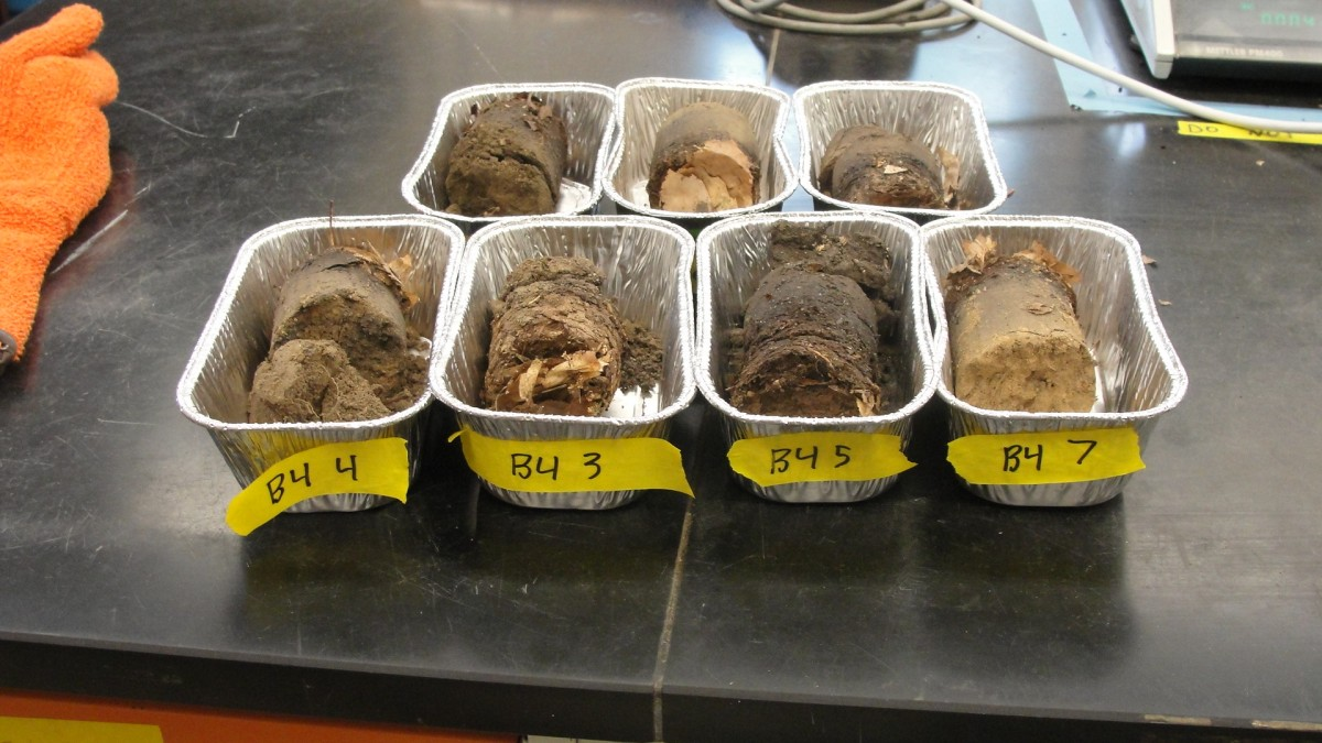 Dried soil cores ready for sieving and processing.